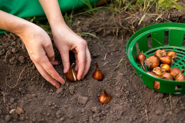 Не тратьте время на ежегодное выкапывание и посадку тюльпанов
