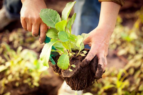 Рассаду капусты можно выращивать в парнике