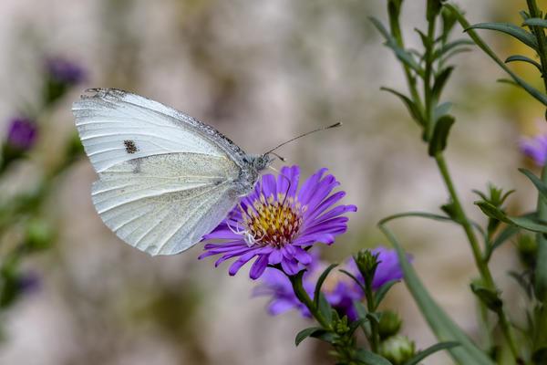 Бабочка-белянка оповещает о начале летнего лёта вредителей