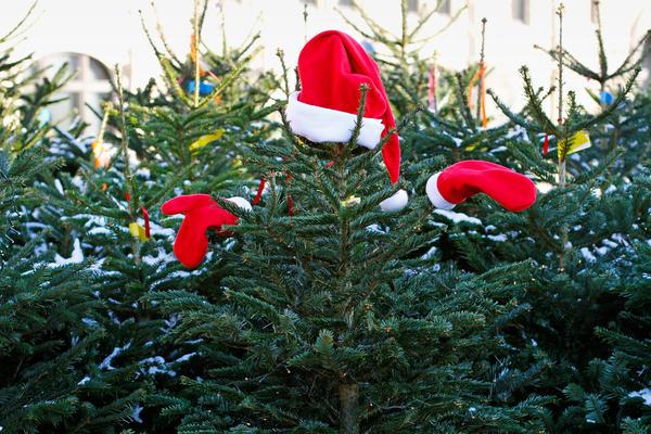 Ель обыкновенная - традиционное новогоднее дерево для нас
