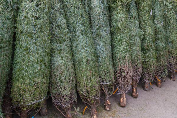 Поступающие перед Новым годом в продажу пихты гораздо дольше сохраняются в тёплых помещениях
