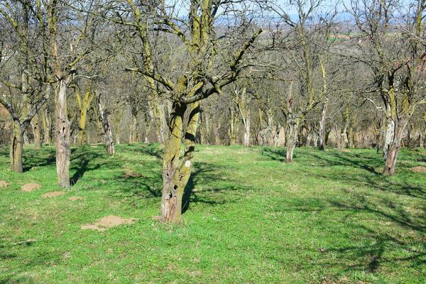 Старый грушевый сад
