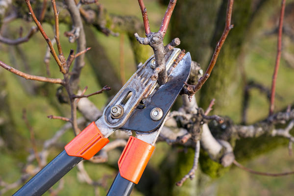 Омолаживать дерево нужно постепенно
