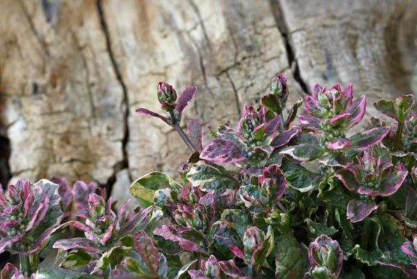 Оригинальная окраска листьев живучки ползучей