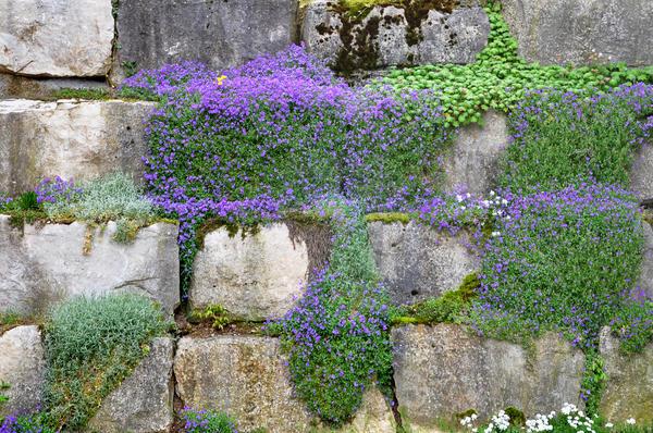 Цветет обриета