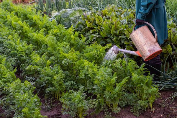 Апельсиновым настоем нужно поливать морковь весь сезон