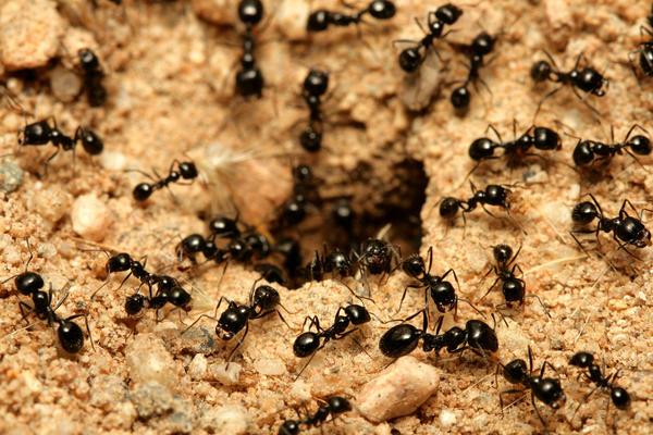 Корки апельсинов обещают прогнать муравьев