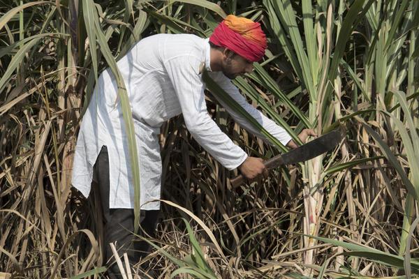 Уборка сахарного тростника с помощью мачете