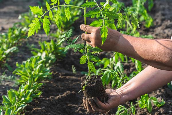 Скоро нам предстоит высадка подросшей рассады томатов на постоянное место