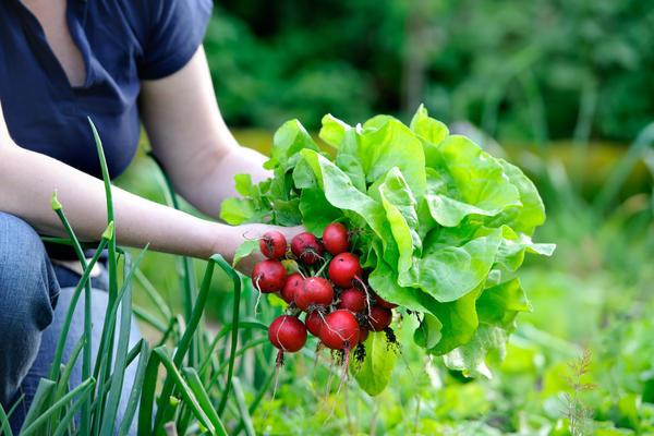 Можно ли собрать 3 урожая за сезон с одной грядки в условиях Сибири?