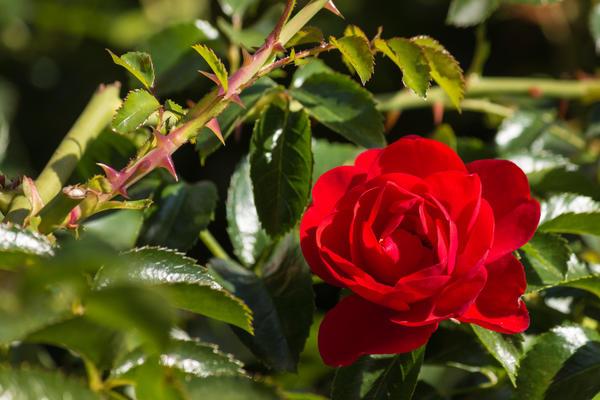 Колючие розы очень сложны и небезопасны в уходе