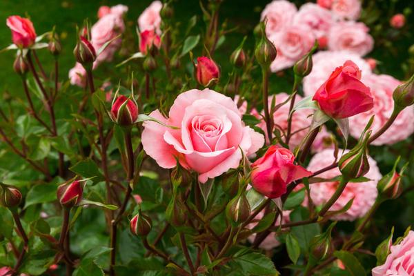 Розы - великолепное украшение для любого сада или цветника