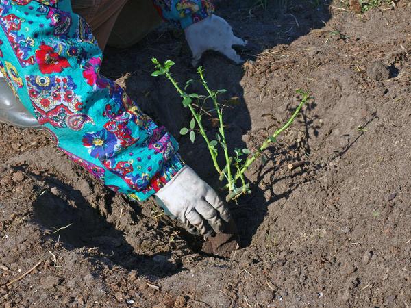 Саженцы роз высаживают в грунт, только дождавшись устойчивого тепла
