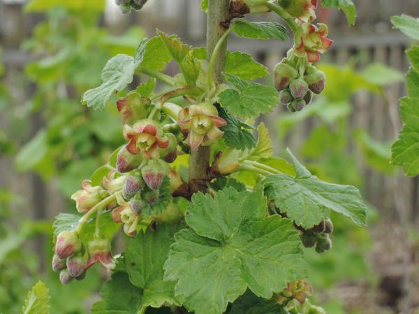 Массовая миграция клеща приходится на период бутонизации и цветения смородины