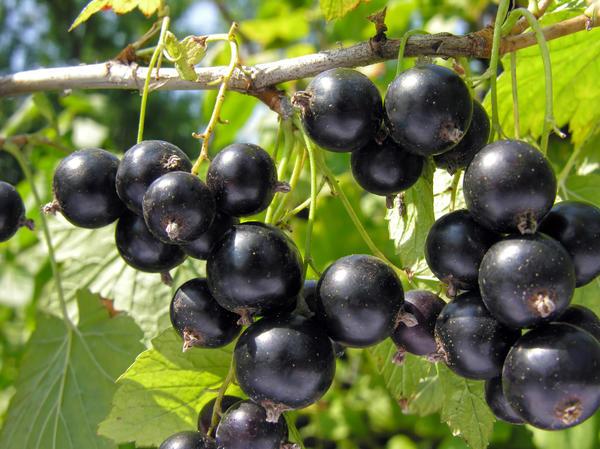 Черная смородина - один из самых популярных ягодников