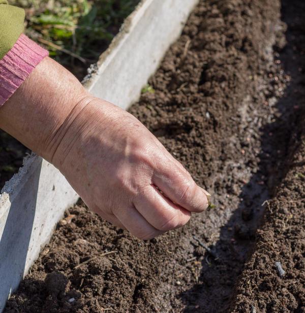Высевать семена нужно в прогретый грунт