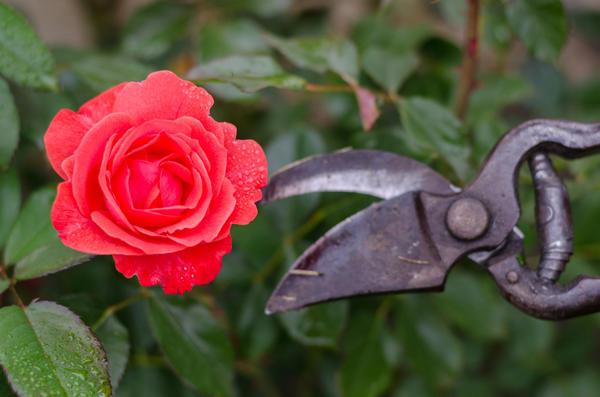 Обрезка необходима розе для поддержания здоровья и красоты