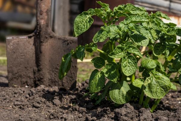Большинство дачников выращивает свой собственный картофель