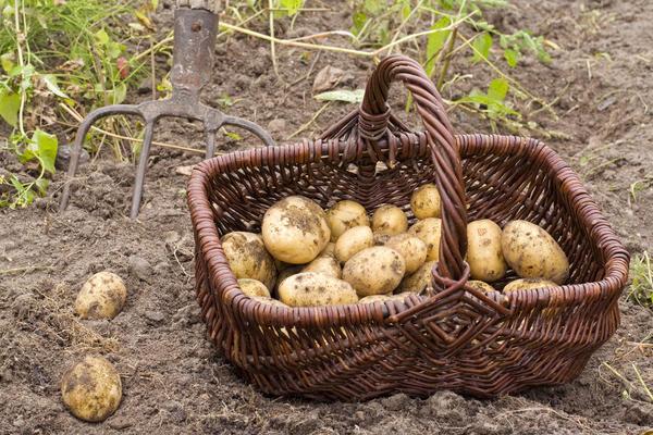 Зачем выращивать картошку самому?