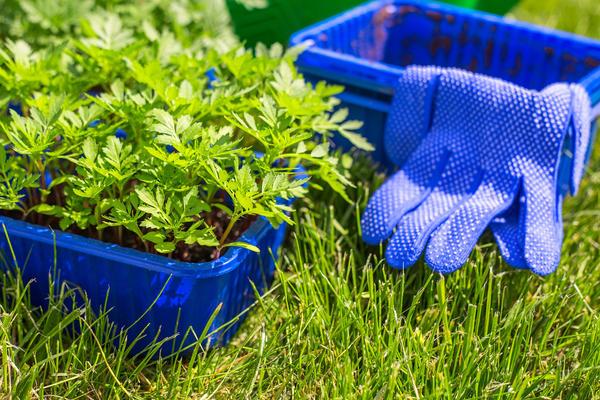 В грядущем сезоне я решила посадить бархатцы не только в цветнике, но также среди садовых культур и на огородных грядках