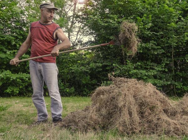 Картофель под соломой можно выращивать без соломы. Подойдёт сухая трава