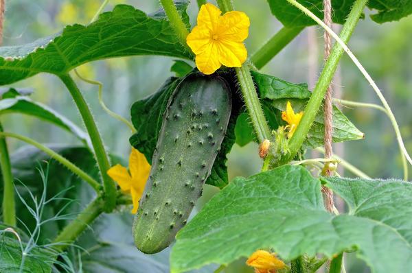 Выращивание огурцов - процесс увлекательный