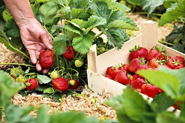 Новые сорта садовой земляники урожайны, вкусны и очень привлекательны
