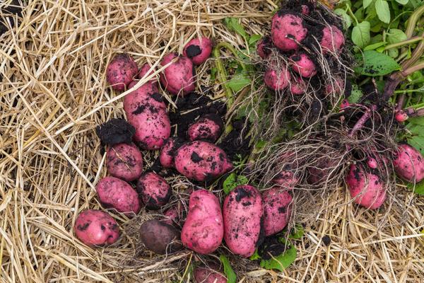 Картофель традиционная культура наших огородов