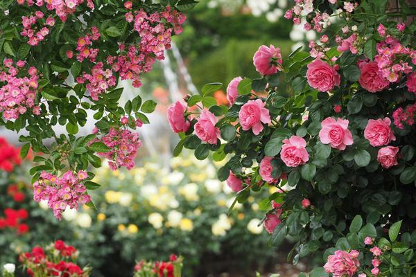 По мере того, как мы втягиваемся в разведение роз, все остальное в саду отходит на второй план