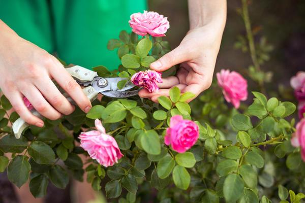Роза способна полностью подчинить себе жизнь садовода