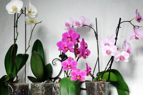 Для красивого цветения фаленопсису необходимы подкормки