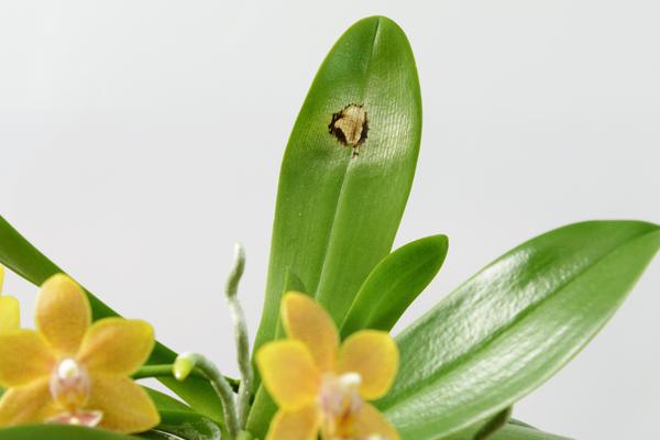 Солнечный ожог на листе орхидеи