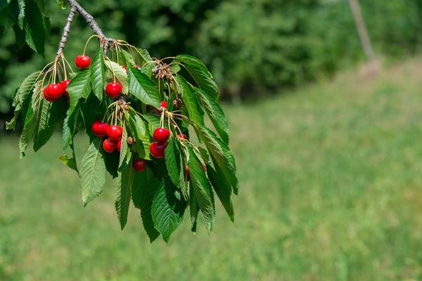 Черешневые деревья любят солнечные места