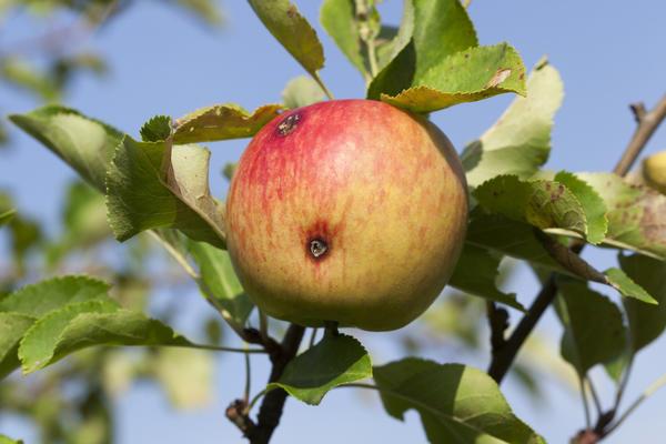 Яблоко поражено яблонной плодожоркой