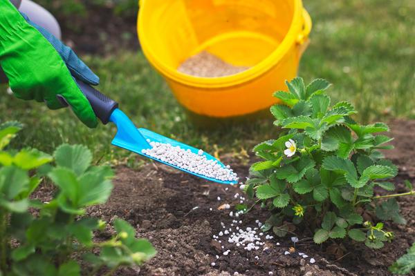 Подкормка земляники садовой минеральным удобрением