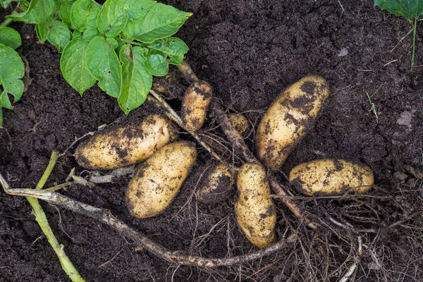 У картофеля слабо развита корневая система