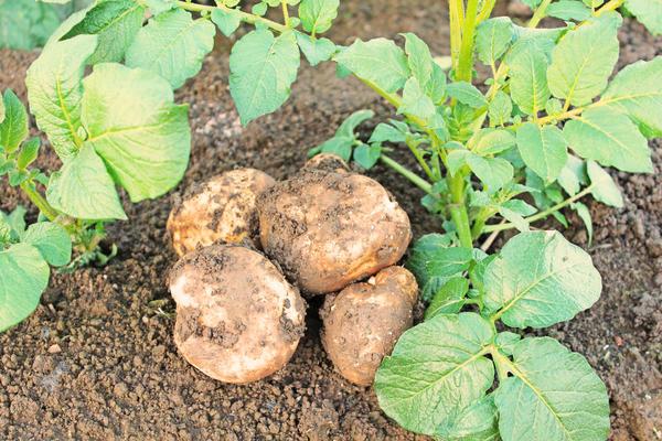 Нужно ли подкармливать картофель?