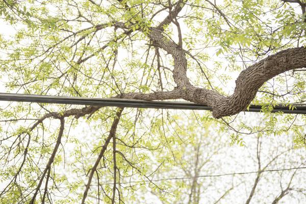 Неправильно выбранное место для посадки дерева во дворе может в будущем обернуться неприятностями