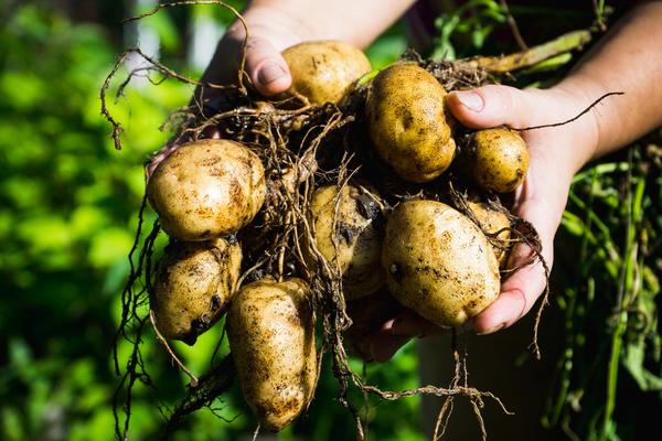 Клубни картофеля - клоны материнского растения