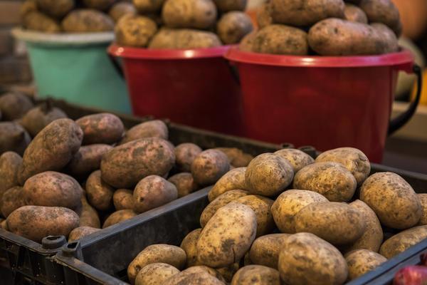Лучше выбирать для посадки местный картофель