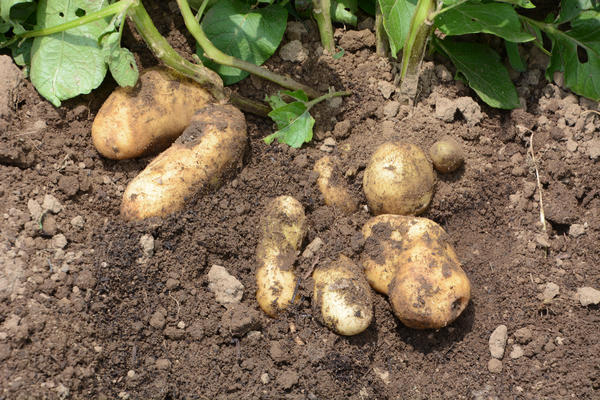 Картофель - наш второй хлеб, поэтому важно уметь защищать его от болезней