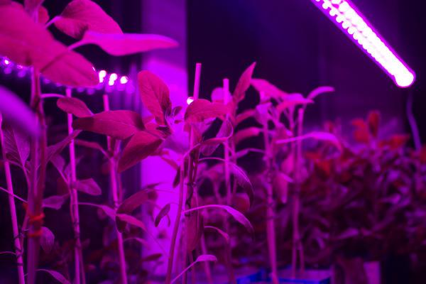 Выращивание рассады требует искусственного освещения