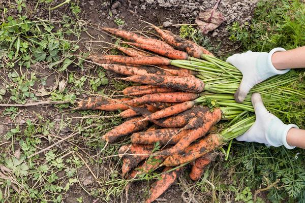 На грядку моркови потребуется 4 г семян