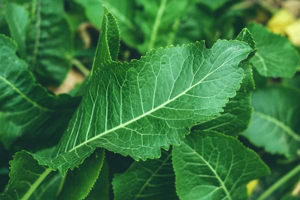Листья хрена тоже полезны. А на зиму их можно квасить