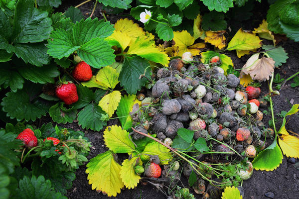 Почему заражается почва в огороде, а на грядках царят грибы-паразиты?
