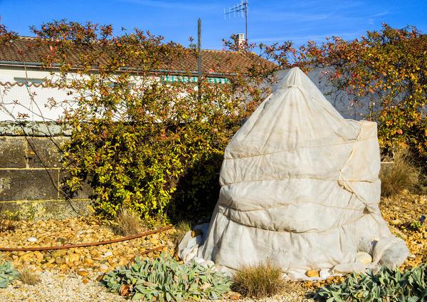Многие растения приходится укрывать на зиму