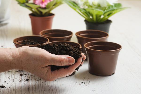 Сенполия хорошо растет в легком грунте с нейтральной реакцией