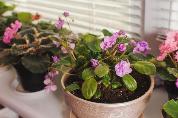 Травмированные растения скудно цветут и формируют несколько точек роста