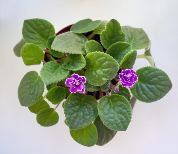 При недостатке света фиалка цветет скудно или отказывается цвести совсем