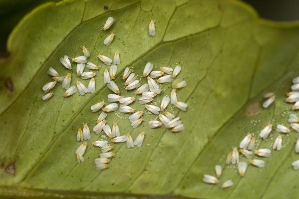 Белокрылки на листе цитрусового растения